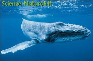 L 39 evoluzione dei cetacei scienze naturali for Mammiferi che vivono in acqua