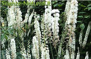 Fiori Bianchi Lunghi.L Actaea Racemosa Il Rimedio Per I Tanti Malanni Scienze Naturali