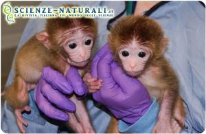 Svilluppate le prime scimmie chimera
