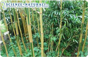 Phyllostachys vivax Huangwenzhu