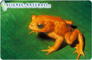 rospo-dorato-di-Monteverde