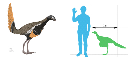 ricostruzione-e-confronto-esemplare-di-Similcaudipteryx