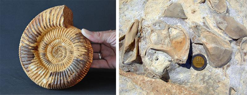 A sinistra: esemplare di ammonite, fossile di organismi estinti nel Mesozoico. A destra: gasteropodi su fondale calcareo del Giurassico (da Wikipedia)
