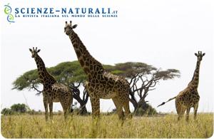 Giraffe, esemplare faunistico tipico della savana