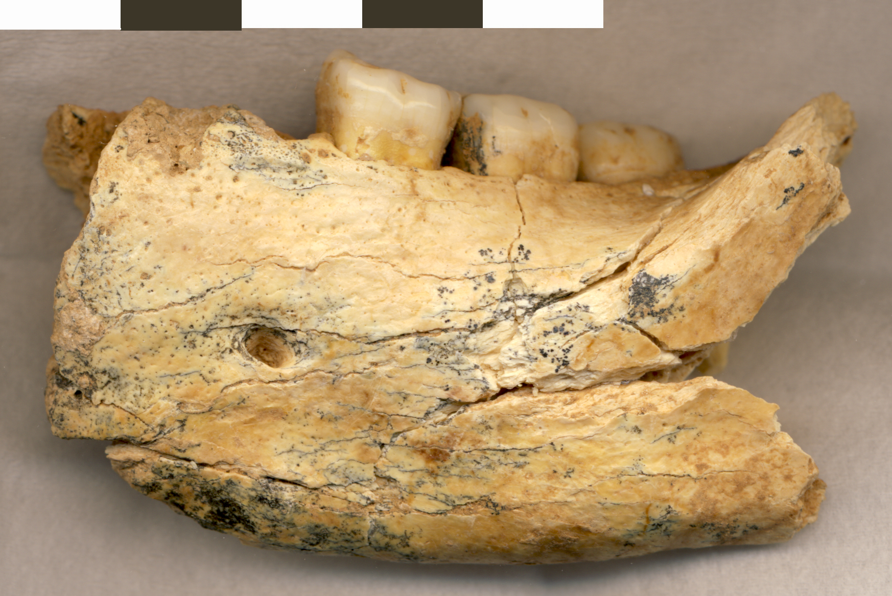 La mascella fossile di Mala Balanica (fonte: University of Winnipeg)