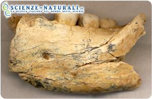 mascella-fossile-di-Mala-Balanica
