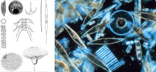 A sinistra: varie forme di microrganismi planctonici. A destra: diatomee al microscopio