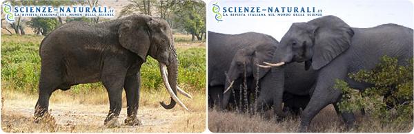 A sinistra: Elefante africano della foresta (Loxodonta cyclotis). A destra: Elefante africano della savana (Loxodonta africana)