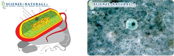 A sinistra: schematizzzazione di cellula procariota; a destra: cellula eucariota (Entamoeba histolytica)