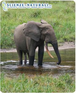 Elefante della foresta del Gabon.