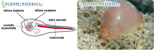 A sinistra.: Schematizzazione di una larva di ascidia; a destra: Ascidia semplice (specie solitaria)