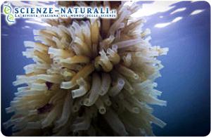 Cibo e carburante futuro? I tunicati sono animali marini filtratori che pesano tra i 50 e i 70 grammi e si trovano in tutti gli oceani
