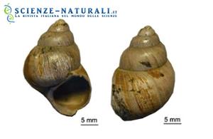 Gusci di carbonato di Viviparus lentus, un gasteropode d'acqua dolce del Bacino di Hampshire, Regno Unito (fonte: Sciencedaily)