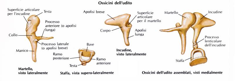Anatomia della catena degli ossicini dell'udito negli esseri umani moderni (Netter)