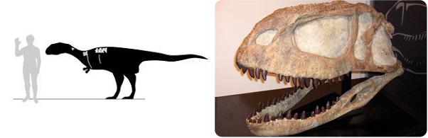 A sinistra: confronto tra le dimensioni di un esemplare di Dahalokely e quelle di un essere umano. In bianco sono evidenziate le ossa conosciute. In nero, le parti andate perdute e ricostruite raffrontandole con animali affini (fonte: Sciencedaily).  A destra: cranio di un individuo appartenente alla superfamiglia degli Abelisauroidi, dinosauri teropodi, caratteristici carnivori dei continenti meridionali. La loro presenza in Europa, attualmente, permane dubbia (fonte: Wikipedia)