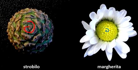 Fig. 1. Uno strobilo (a sinistra), e una margherita (a destra), sono accomunati dal fatto di avere elementi a spirale (spirale rossa e spirale azzurra).