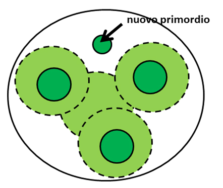 Fig. 4 - La teoria dei campi inibitori. Attorno ad ogni primordio (in verde scuro), così come al centro del meristema, è presente un campo inibitore (verde chiaro) dovuto, ad esempio, ad un segnale chimico originato dal primordio. In questo modo, un nuovo primordio può nascere solo nel punto lasciato libero dall'interazione dei vari campi.