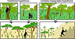 L'abbandono della vita arboricola da parte degli ominidi nelle due diverse ipotesi (fonte: Antiquity)