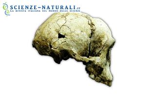 Il cranio di Liang Bua 1 (LB1) in vista laterale destra. (fonte: P.Brown)
