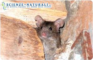 """I topi di sesso femminile meno """"esplorativi"""" ed attivi hanno un'aspettativa di vita maggiore rispetto alle loro compagne. (UZH, sciencedaily)"""