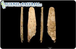 L'osso levigato più completo, rinvenuto durante gli scavi presso il sito Neanderthal di Abri Peyrony, visto da tutte e quattro le angolazioni (fonte: ScienceDaily)