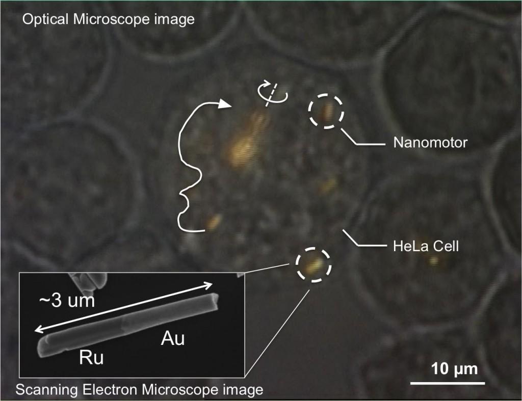 Immagine da microscopio ottico di una cellula HeLa contenente alcuni nanomotori oro-rutenio. Le frecce indicano le loro traiettorie e la grossa linea bianca indica la propulsione. Vicino al centro del'immagine un mandrino di alcuni nanomotori che gira. La dispersione di onde sonore dalle due estremità provoca propulsione. Credit: Mallouk lab, Penn State University.