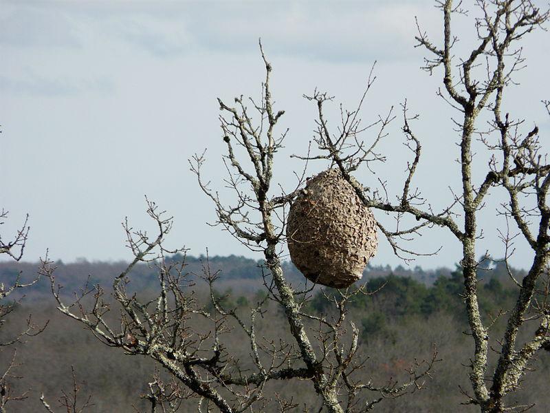 Nido, può ospitare sino a duemila vespe. (Fonte: Wiki Commons)