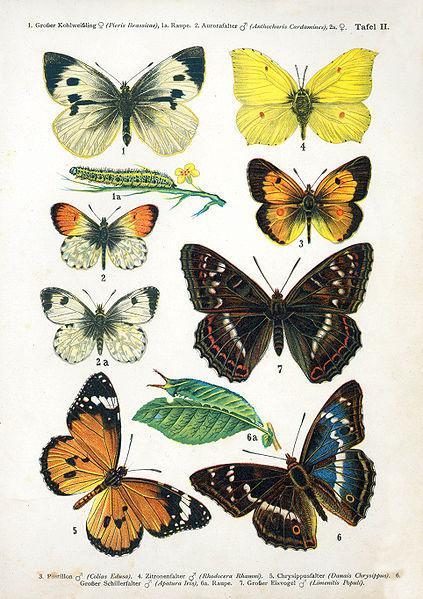Lepidotteri. Fonte Wikipedia