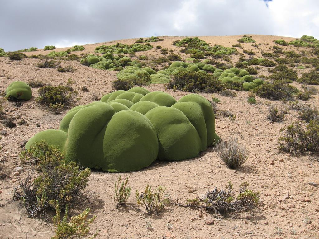 Llareta è una pianta protetta a rischio di estinzione. (Fonte Arcadis Chile)