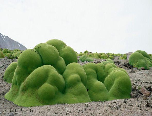 Llareta nel deserto di Acatama, Cile (Credit R. Sussman)