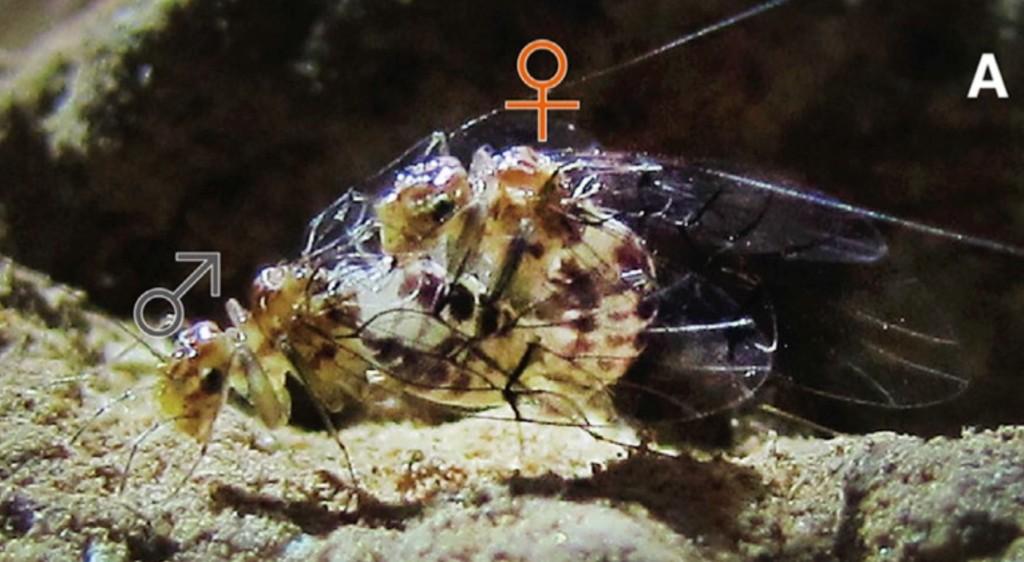 Femmina di Neotrogla che penetra un maschio.