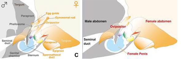 Anatomia delle strutture maschili  e femminili di Neotrogla durante la copula.