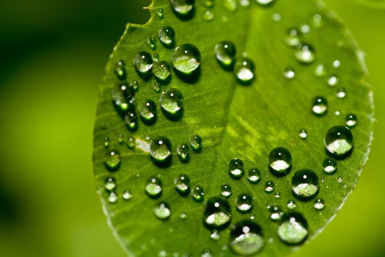 L'idrofobicità delle foglie evita attacchi fungini.