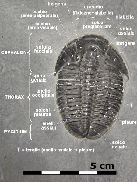 Studio della morfologia dell'esoscheletro di un trilobite risalente al Cambriano medio. Un esemplare fossile ben conservato ha subito un processo di mineralizzazione che in casi particolarmente fortunati può riguardare anche i tessuti molli, in genere irrintracciabili. Fonte Wikipedia.