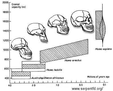 Capacità cranica. Un maggior volume cranico permette più connessioni cerebrali ed un adattamento migliore.