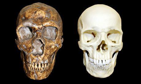 Cranio di Neanderthal (a sinistra) e essere umano moderno (a destra)