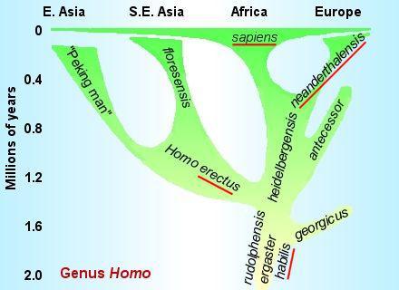 Ulteriore ipotesi evolutiva che vede H. ergaster ed H. habilis progenitori di H. erectus, H. neanderthalensis e H. sapiens.