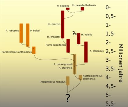 Ipotesi evolutiva in cui H. habilis viene ipotizzato derivante da un ramo evolutivo australopiteco ed H. erectus deriva direttamente da H. ergaster.