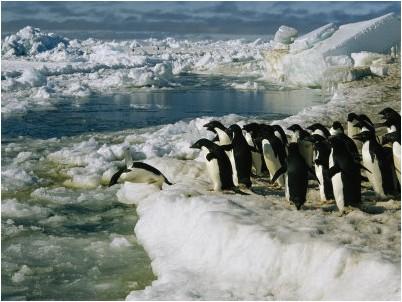 Pinguini Adelia