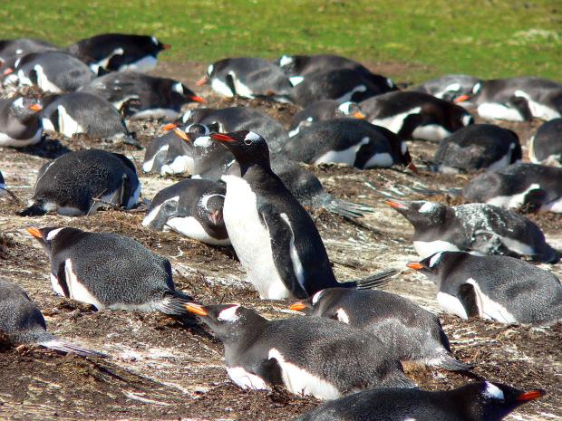 Pinguini Papua