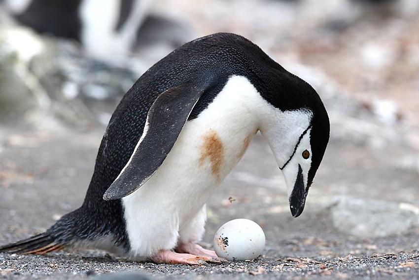 Pinguini dal collare