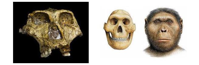 Reperto fossile del teschio di Paranthropus robustus (a sinistra). Ricostruzione del teschio e ipotetiche sembianze di Paranthropus robustus (a destra).