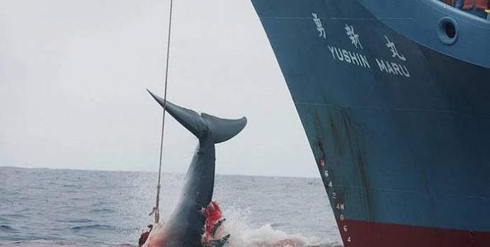 Di molto ridotta la caccia alle balene è ancora permessa per motivi cosiddetti di studio (Fonte EPA).
