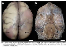 Cervello di Sapajus