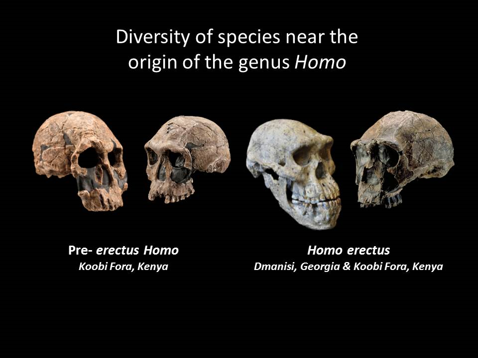 Crani pre-Homo erectus e Homo erectus presentano caratteristiche diverse, indicando che la precoce diversificazione del genere umano consisteva in pratica in un periodo di sperimentazione morfologica (Credit: Smithsonian Human Origins Program)