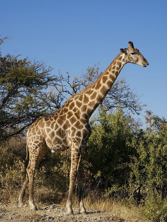 Esemplare di giraffa dell'Angola.