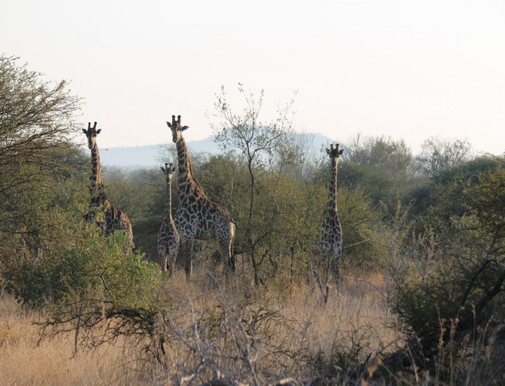 Esemplari di giraffa sudafricana presso Kruger park in Sudafrica. Foto di M.C.Giuditta ed E. Lorenzo