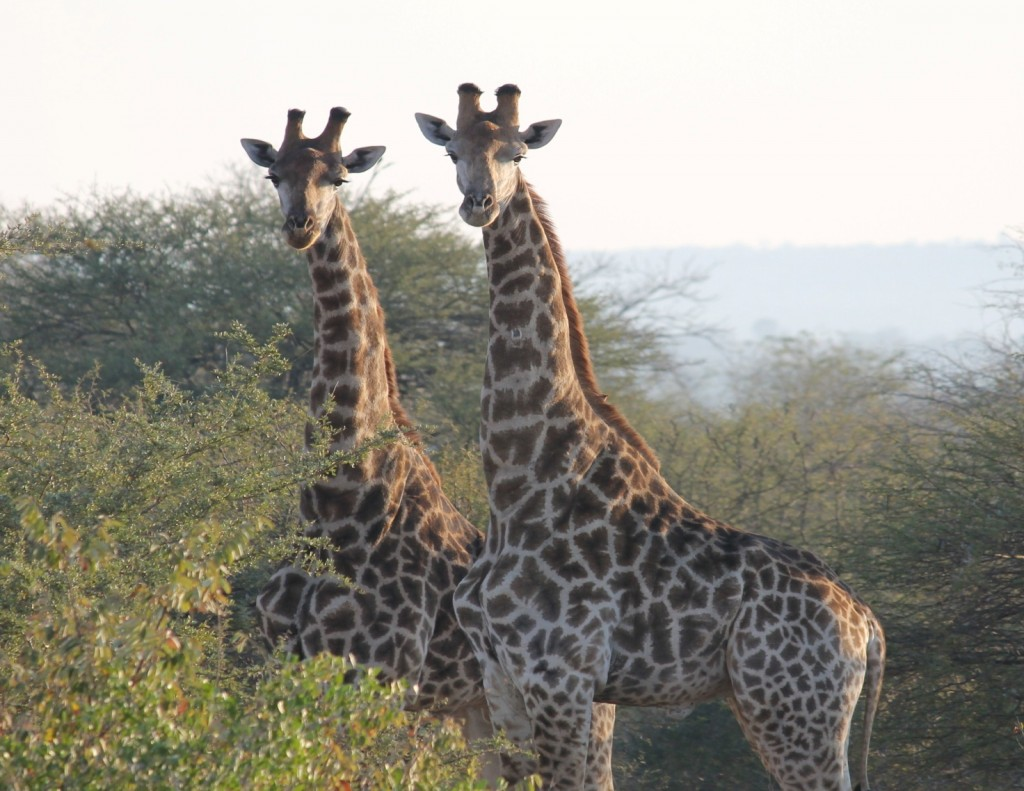 Giraffe sudafricane presso Kruger park in  Sudafrica. Foto di M.C.Giuditta ed  E. Lorenzo.
