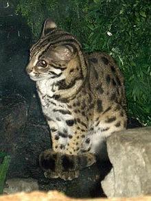 Gatto leopardo (Prionailurus bengalensis)