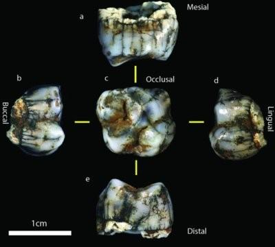 Molare di ominide ritrovato nelle grotte di Sterkfontein, ripreso da più angolazioni (credit: Jason Heaton)